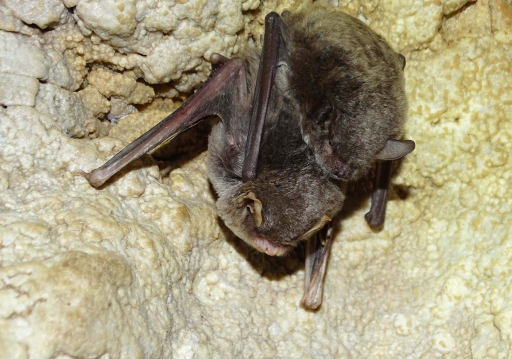 Murciélagos de cueva y de capaccinii
