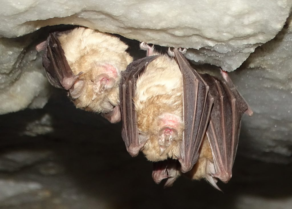 "Bats in the cave of ""Las Yeseras"""