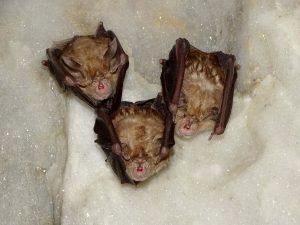 Murciélagos grandes de herradura